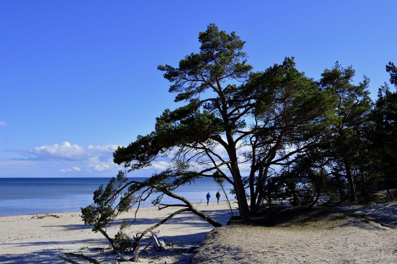 Пляж и сосны фото